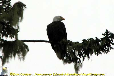 Bald Eagle - High in Tree